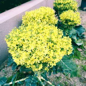 黄色い花は何の花?ブロッコリーの花ですよ。
