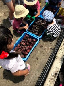 JR博多シティの屋上で芋堀りイベントでした。